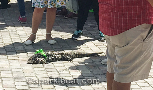 Argentine black and white tegu at Blessing of the Animals