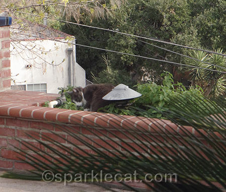 gray cat, tuxedo cat, catnip garden, cat and catnip plants