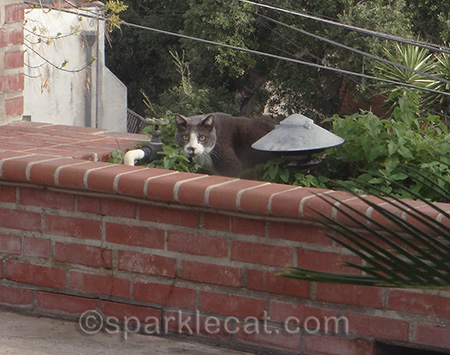 gray cat in catnip plants, catnip garden, gato, tuxedo cat
