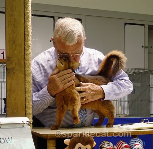 female somali cat being affectionate to judge