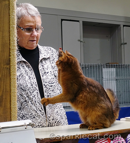 female somali cat playing in ring