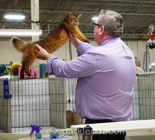 female somali cat in judging ring