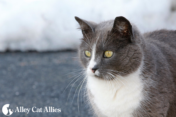 ear-tipped feral cat - Alley Cat Allies